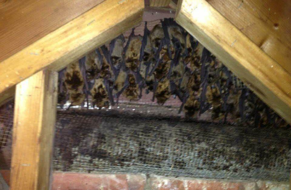 bat removal Baltimore